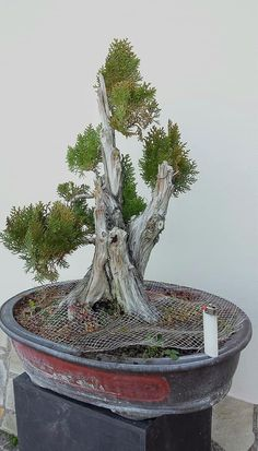 Miniature Trees, Miniature Gardens, Juniper Bonsai, Plantas Bonsai, Small Trees, Shrubs, Fountain, Bonsai Trees, Outdoor Decor