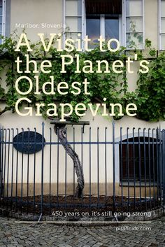 A Visit to the Planet's Oldest Grapevine in Maribor, Slovenia