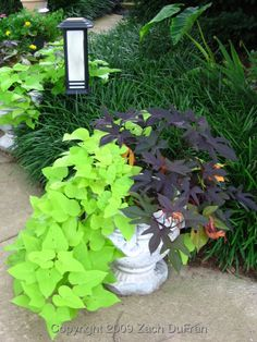 Sweet potato vine. Can't wait to plant some in tall urns I want to get for the front porch
