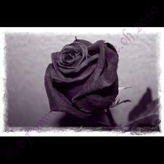 Rose violet Rose, Flowers, Plants, Pink, Florals, Roses, Planters, Flower, Blossoms