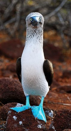 Galapagos Islands-92 by Tristan Brown  A Blue Footed Booby on North Seymour Island.