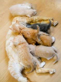 """*It's a feeding frenzy. Sunshine the rescue cat mama has a litter of six very hungry mouths to feed. The diligent cat mama is literally buried underneath a pile of squirmy fuzzballs.    """"Nom nom nom!!!"""""""