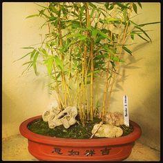 Bambu #bellezaDeBonsai