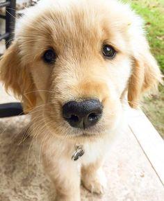 Check Out Old Golden Retriever, Caesar! Golden Retriever Dog Training in Virginia Golden Retrievers, Dogs Golden Retriever, Animals And Pets, Baby Animals, Cute Animals, Cute Puppies, Dogs And Puppies, Corgi Puppies, Husky Puppy