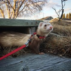 The majestic Zazu : ferrets