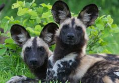 African wild dogs - they might stink really badly but they are beautiful! Beautiful Creatures, Animals Beautiful, Animals And Pets, Cute Animals, African Wild Dog, Charles Darwin, Wild Dogs, All Nature, Mundo Animal