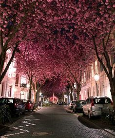 Each spring, a peaceful street, in the German city of Bonn, transforms into an enchanting cherry blossom tunnel.