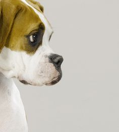 boxer--love the negative space in this <3