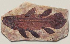 """El celacanto se creía extinto hasta que se encontró un ejemplar en  1938, fue capturado en  un barco pesquero y luego fue disecado por un conservador de museo. Esto hace que sea un taxón Lázaro, una especie que ha """"resucitado de entre los muertos», se pensó que se había extinguido sólo para luego ser descubierto con vida. El fósil más antiguo de esta especie es de 360 millones de años, y parece que este pez casi no ha cambiado desde entonces. Muchos pensaron que estaban extintos luego de 80"""