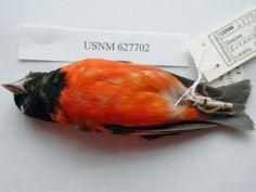 http://media.eol.org/content/2012/05/21/08/80674_orig.jpg  Smithsonian institution, division of birds