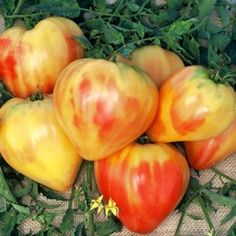 Orange Russian 117: This is the first bicolor oxheart tomato we have seen, and it exhibits the best qualities of both types. Tomatoes weigh 8 ozs. or more and are heart-shaped with smooth golden flesh marbled inside with streaks of red. They are delicious and sweet, somewhat fruity in flavor, and are meaty with very few seeds. Indeterminate. 85 days. Click Here for Large Quantity Pricing.