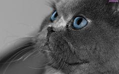 Niebieskie Oczy, Kot