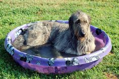 The Largest Irish Wolfhound