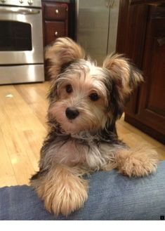 Best Morkie puppies ideas on Las mejores ideas de cachorros Morkie en Cute Dogs And Puppies, I Love Dogs, Chien Yorkshire Terrier, Shorkie Puppies, Poodle Puppies, Yorkies, Animals And Pets, Cute Animals, Yorshire Terrier