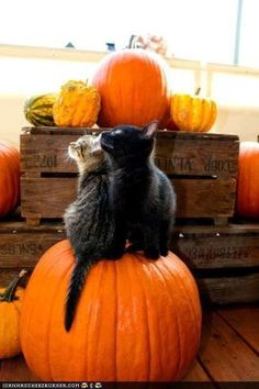 Oh goodness - cute kittens on a pumpkin! Oh goodness - cute kittens on a pumpkin! Crazy Cat Lady, Crazy Cats, I Love Cats, Cute Cats, Funny Cats, Adorable Kittens, Halloween Cat, Happy Halloween, Halloween Horror
