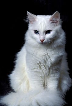 Long Haired Cat Breeds - What greater gift than the love of a cat? ~Charles Dickens