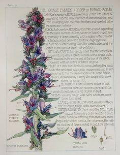1910 Botanical Print by H. Isabel Adams: Borage Family, Common Viper's-bugloss