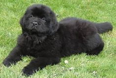 newfoundland puppy~I can't believe my CHAOS was ever this small!