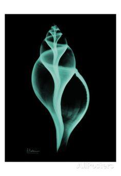 Shell of Tulip Snail | X-ray art print by Albert Koetsier.