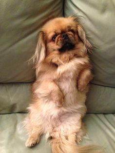 Cute Baby Puppies, Cute Dogs, Dogs And Puppies, Doggies, Pekingese Puppies, Teacup Puppies, Funny Animal Photos, Dog Pictures, Fu Dog