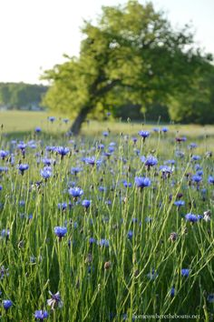 Bachelor Buttons or Cornflowers