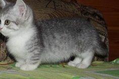 Miniature Munchkins Cat , miniature Cats, miniature
