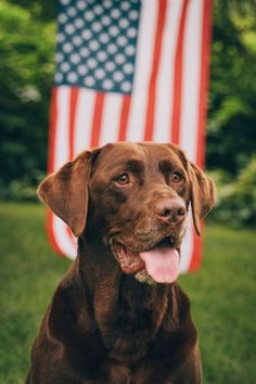 Patriotic Chocolate Lab