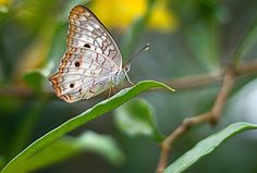 White Peacock Butterfly by  Soli Rocha on 500px