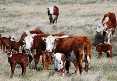 Hereford Cattle, Cute Animal Pictures, Old West, Livestock, Rodeo, Art Drawings, Cute Animals, San Rafael, Farm Life