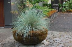 Boulder blue fescue grass in container