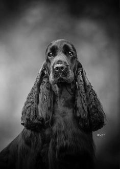 """Click visit site and Check out Best """"English Cocker Spaniel"""" T-shirts. This website is top-notch. Tip: You can search """"your name"""" or """"your favorite shirts"""" at search bar on the top. King Charles Cocker Spaniel, Blue Roan Cocker Spaniel, Black Cocker Spaniel, American Cocker Spaniel, Cocker Spaniel Puppies, English Cocker Spaniel, Cockerspaniel, Beautiful Dogs, Dog Grooming"""
