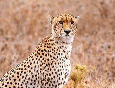 De vakre slettene i Serengeti Nasjonalpark, det imponerende paradis i Ngorongoro-krateret og elefantene i Tarangire er blant opplevelsene på denne fantastiske safari i Tanzania.   Les mer ved å følge lenken øverst Tanzania, Panther, Safari, Animals, Animales, Animaux, Panthers, Animal, Animais