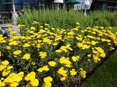 Yellow Achillea blooming at the InterContinental 6-17-2013
