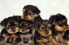 Yorkshire Terrier. Reminds me of our beautiful baby boy Jax. :)