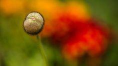 Poppy head by Michel  ZAREBSKI on 500px