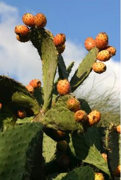Sabra Cactus - Israel. This is the fruit that forms when the blossom dies off. Tough and prickly on the outside, but tender and sweet on the inside. Looks like the prickly pear cactus in U.S. southwest desert areas