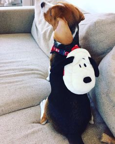 Cool Snoopy Beagle Beagle Adorable Dog - 568605dadebba29a4360fe30729b8a6f--beagle-puppies-beagles  Pic_23196  .jpg