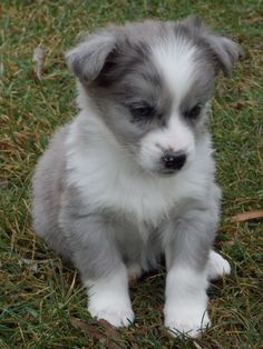 Image on Corgi Mixes  http://www.corgimixes.com/social-gallery/corgi-australian-shepherd-mix-1