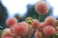 Dahlia.. I would love to mix these for a bouquet or flower arrangement. GORG!