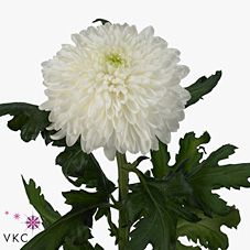 Chrysanthemum Blooms Avalon are a white disbudded, single headed cut flower variety. 70cm tall & wholesaled in 10 stem wraps.