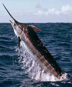 Marlin: catch a 300 pound marlin, #3 on my bucket list