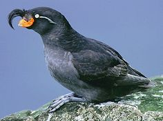 Alaskan auklet bird | Aquarium of the Pacific | Online Learning Center | Crested Auklet