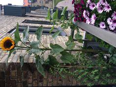 Tilplantet altan med Cherrytomat, margeritter, solsikker, krydderurter, chili og jordbær. Plants, Plant, Planting, Planets