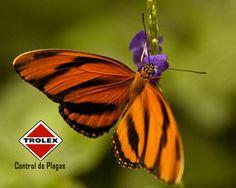 Control de plagas en un jardín de mariposa  Los jardines donde mariposa hacen una adición encantadora a cualquier espacio.  Tales jardines se crean mediante el uso de diversas plantas y flores, y son especialmente atractivos para estos insectos de colores brillantes.