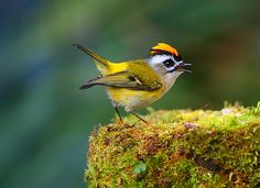The Formosan Flamecrest lives only in Taiwan in high- and mid-altitude coniferous forests, mainly at 2000–3600 m above sea level,an average altitude of about 2550 m, the highest of all the endemic birds. Its habitats had the coldest mean temperature and lowest warmth index of all 17 endemics, as well as the highest annual rainfall for the five uncommon species, though its distribution regarding vegetation and human disturbance was similar to those of the others. by Dajan Chiou