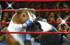 The Guinea Pig Olympics - Telegraph