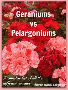 Understanding Geraniums and Pelargoniums - Sow & Dipity