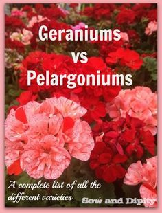 Geraniums vs Pelargoniums, never be confused again! Great list of all the varieties.