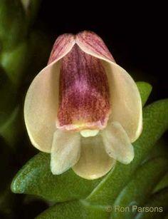Dendrobium leonis