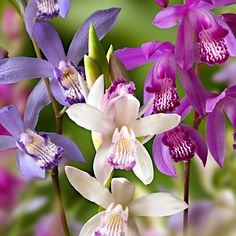 Hardy ground orchids are vastly easier to grow than tropical orchids, with graceful, lilylike flowers above pleated foliage. Ideal for partially shaded border. Big Plants, Tall Plants, Exotic Plants, Growing Flowers, Planting Flowers, Flowers Garden, Orchid Propagation, Ground Orchids, Orchids In Water